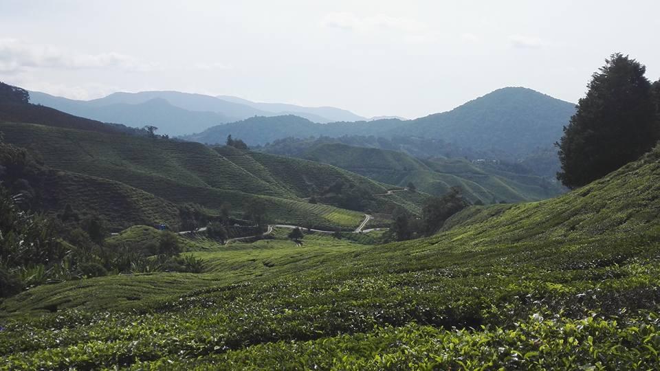 Malaysia Tea plantation