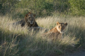 South Africa lion couple