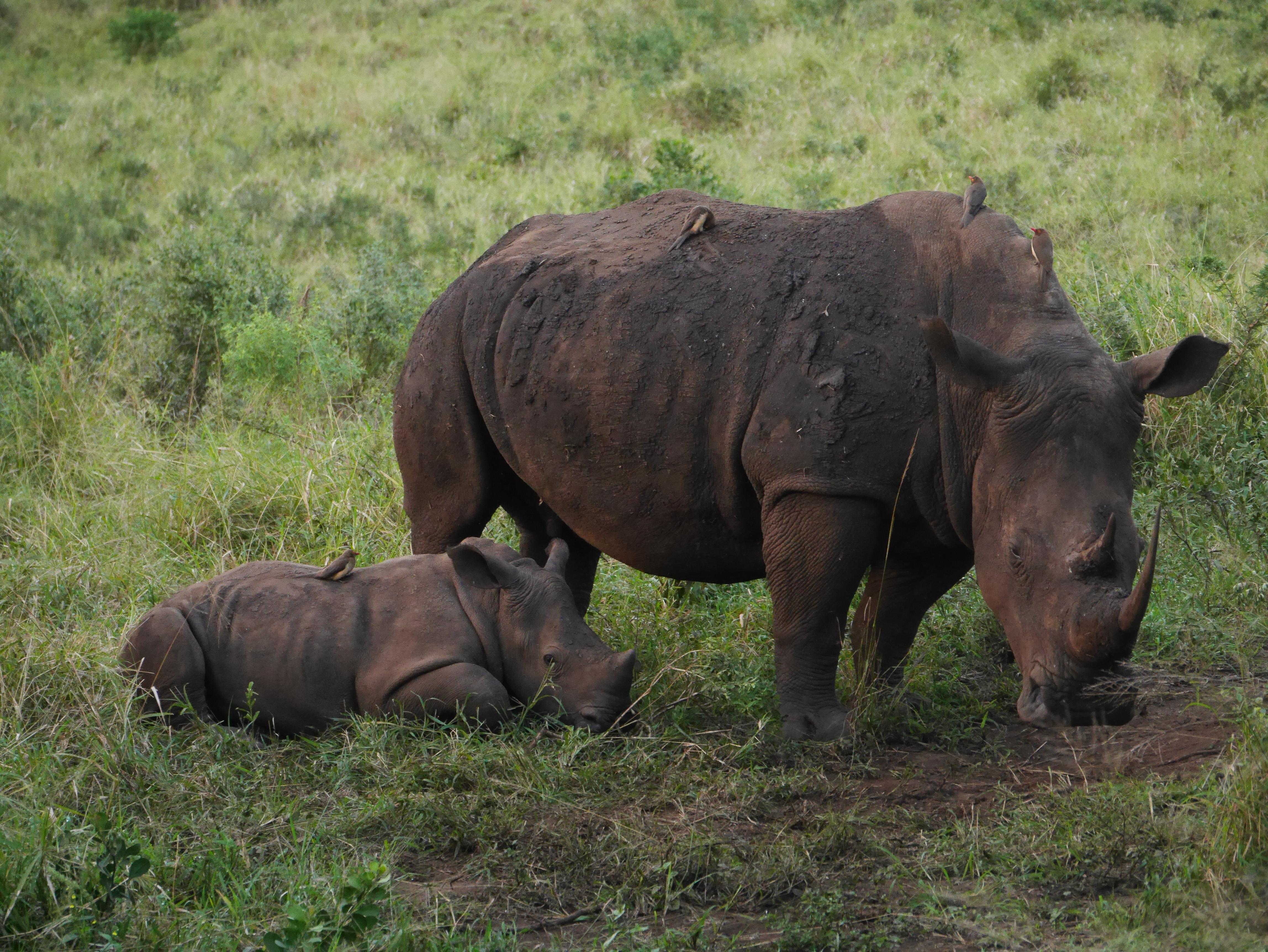 South Africa baby rhino