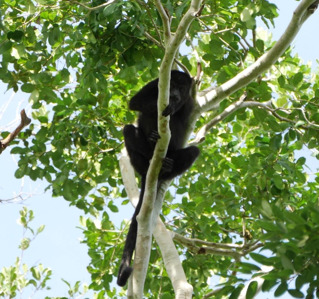 Calakmul monkey