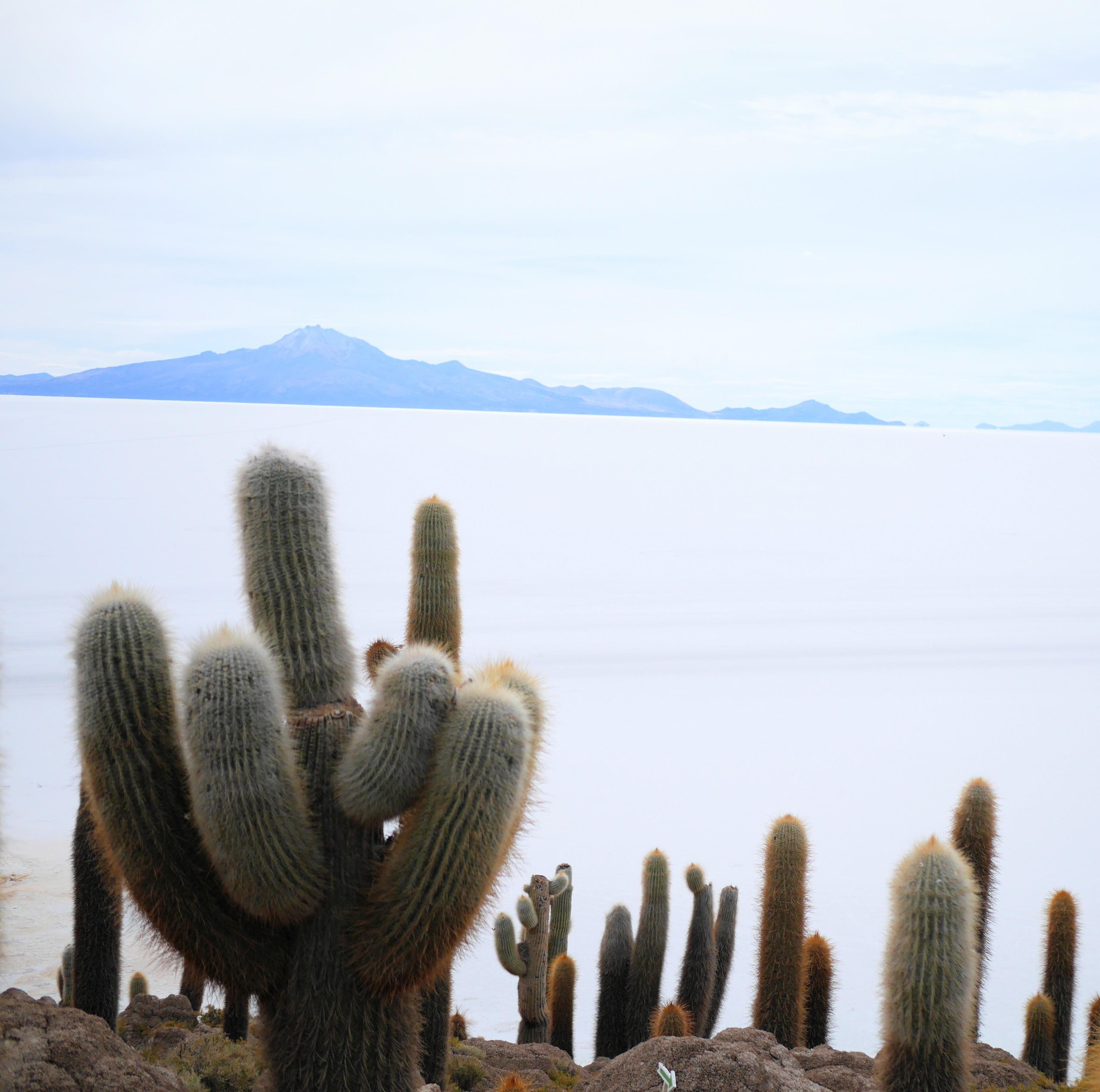 Salar de Uyuni Cactus