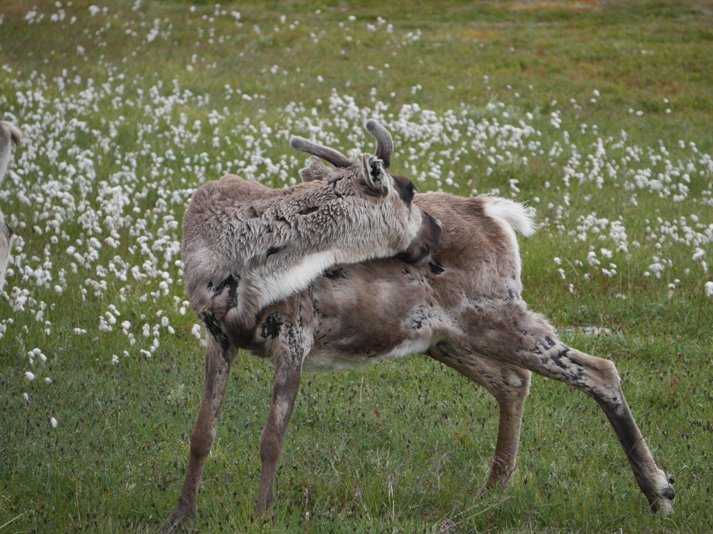Sweden Reindeer small