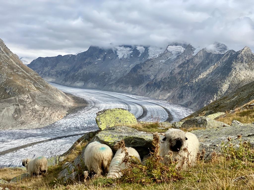 Aletsch Glacier Sheep
